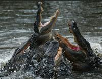 Alligator   Google Search