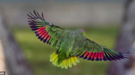 Red crowned parrot
