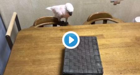 Parrotversuscat