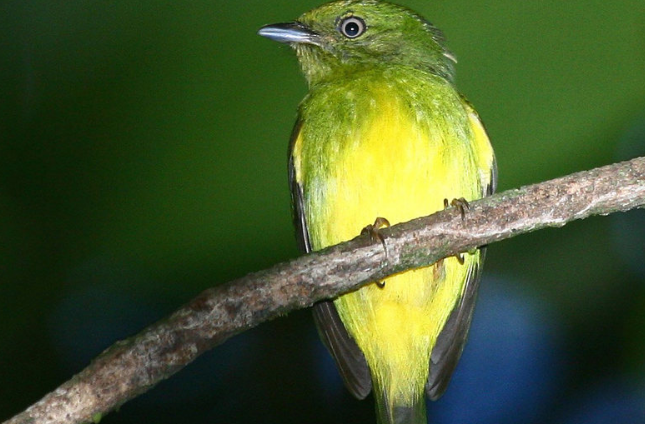 Hybridbird