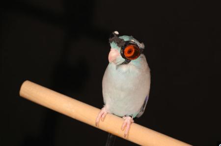 Parrotingoggles