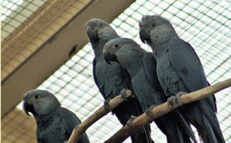 Spix's Parrots