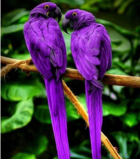 Hyacinthmacaws