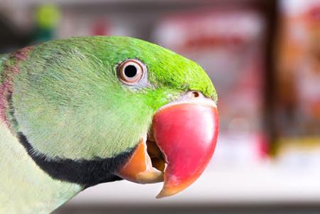 Alexandrine-parakeet-head-2
