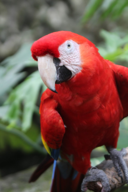 Xcaret scarlet macaw