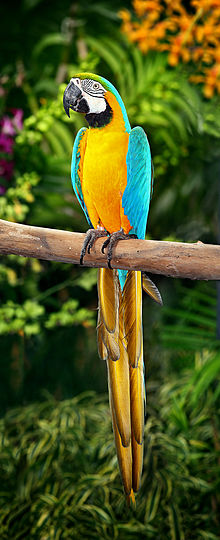220px-Blue-and-Yellow-Macaw