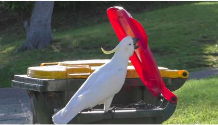 Cockatoodumpsterdiver